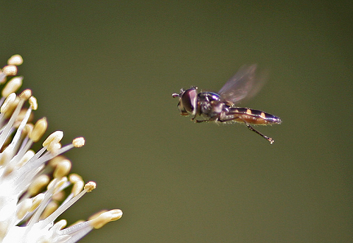 Syrphid - hover fly hovering above allium flower