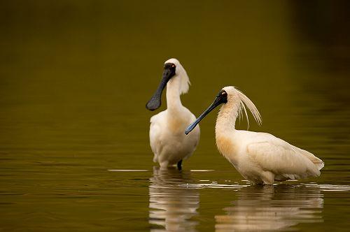 Royal spoonbill visitorsfeed in Tomahawk Lagoon