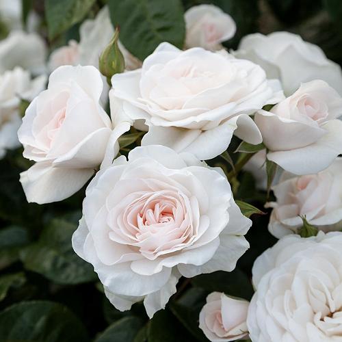 St Hilda's Rose