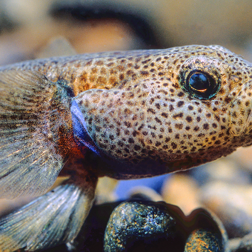 These flashy little fish are Bluegill bullies and found nowhere else in the world, and, like most New Zealand freshwater fish, could use a helping hand. (Forest & Bird)
