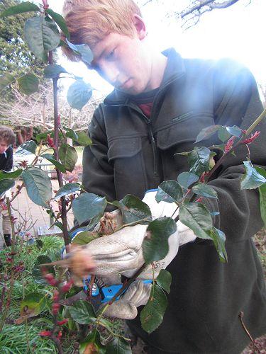 Rose Pruning - Hamish