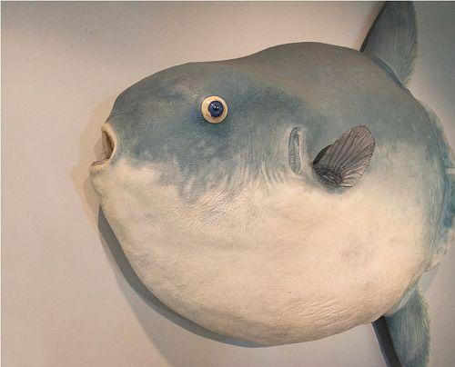 Fibreglass cast of Hoodwinker species of sunfish.