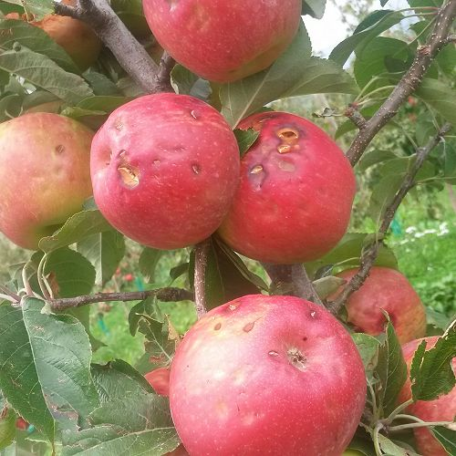 Hail-damaged apples