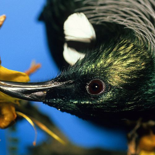 """""""The tui and kowhai fit together like hand in a glove"""", Rod Morris"""
