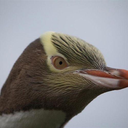 Hoiho - Yellow-Eyed Penguin, Otago Peninsula