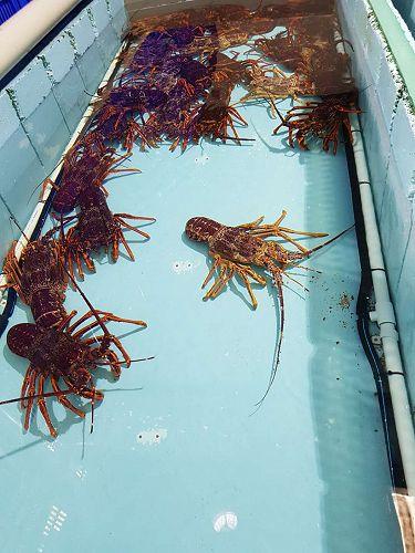Lobster tank at the Tasmanian Facility