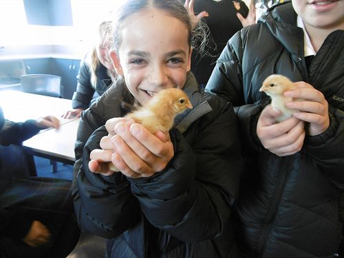 Year 7 and Year 11 students care for baby chicks