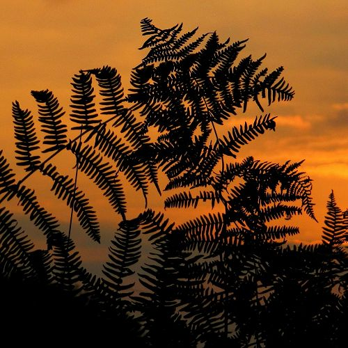 Fern sunrise