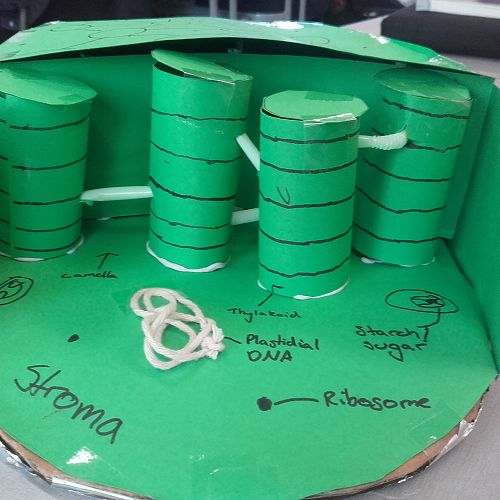 Grana stacks in the chloroplast...