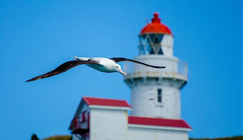 Albatross with Taiaroa Head lighthouse in background, Otago Peninsula.