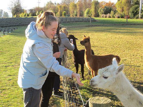 Alpaca mania at the Lavender Farm...