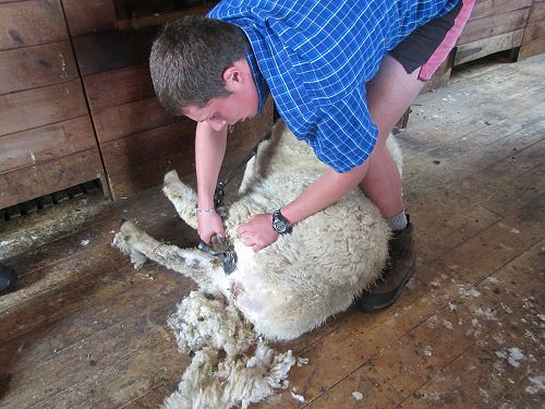 PIA students shearing Austin's sheep