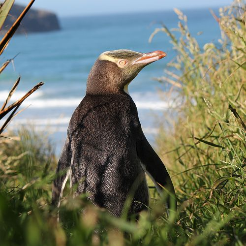 Yellow Eyed Penguin at home on Elm Wildlife's reserve on the Otago Peninsula.