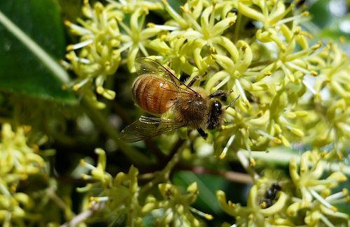 Honey bee on Tarata or Lemonwood spring blooms