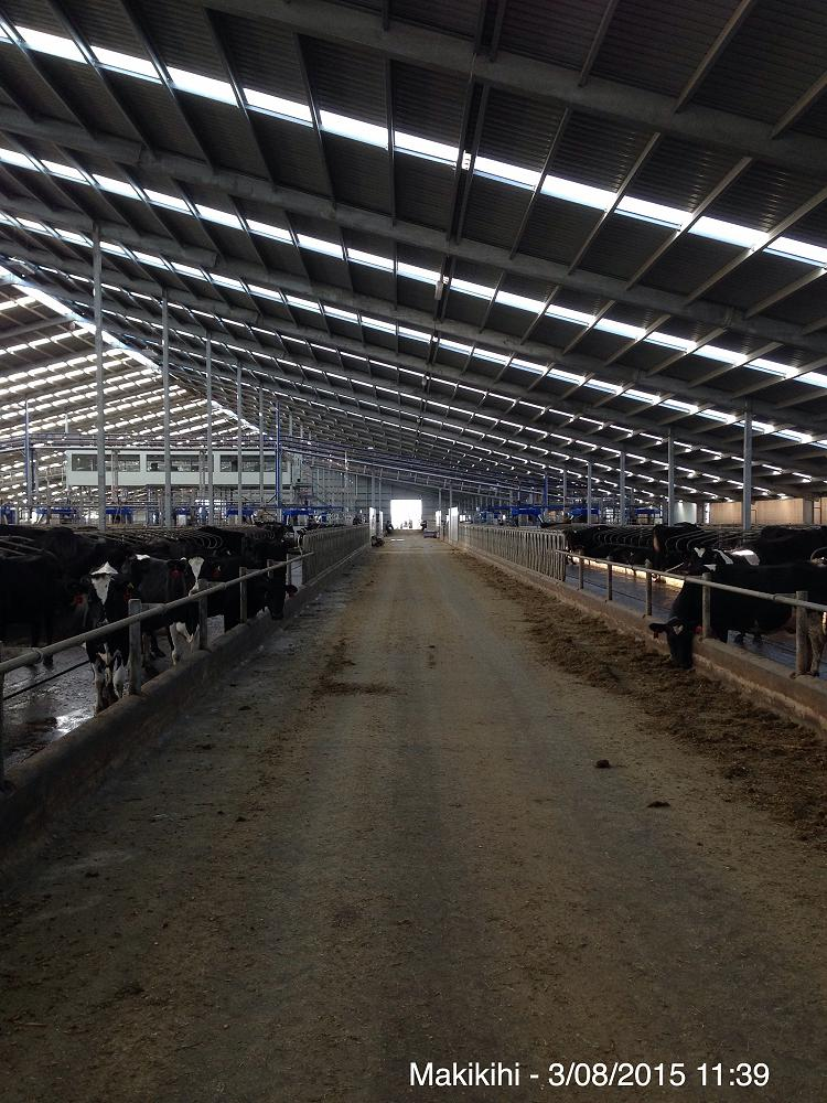 The giant shed capable of housing 1500 Dairy Cows.