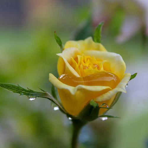 The Rose - Danny Adams
