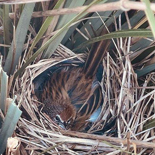 Nesting time for the lovely mātātā (fernbird)