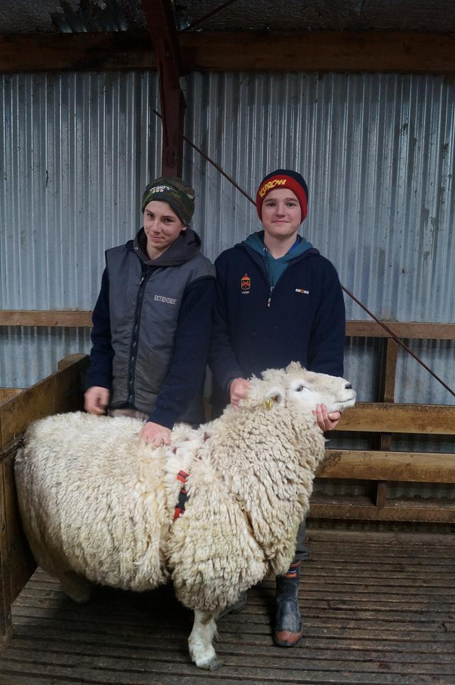 Hugo Cochrane and William Smillie with a ram after putting a harness on it.