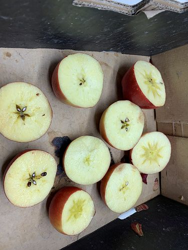 Iodine testing determines when apples are ready to