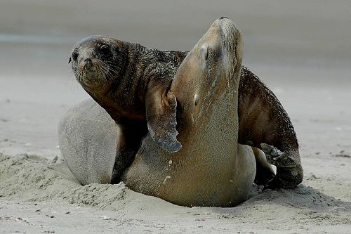 New Zealand Sea Lion with pup on Otago Peninsula beach.