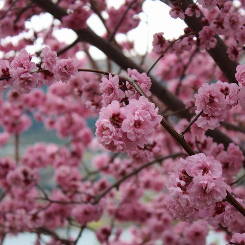 Arrowtown Blossum