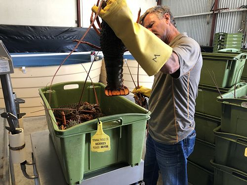 Mark Wheeler checks a landing of packhorse crays in Whitianga.