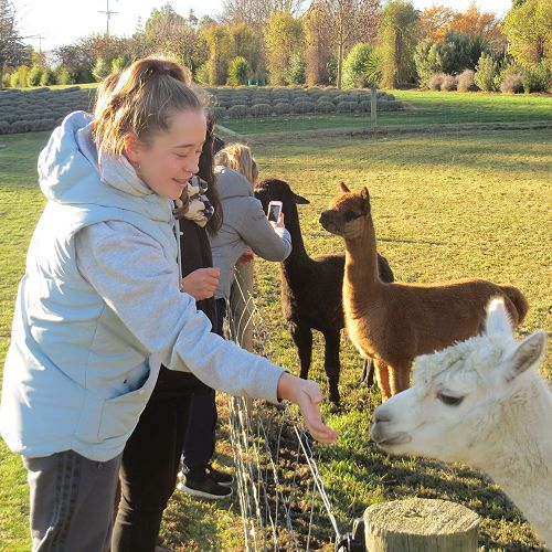 Alpaca mania at the Lavender Farm...