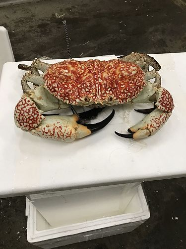 Who wants to tell this Giant Crab to get back in the tank?