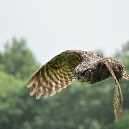 Swiping owl