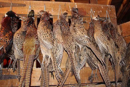 The unlucky Pheasants!