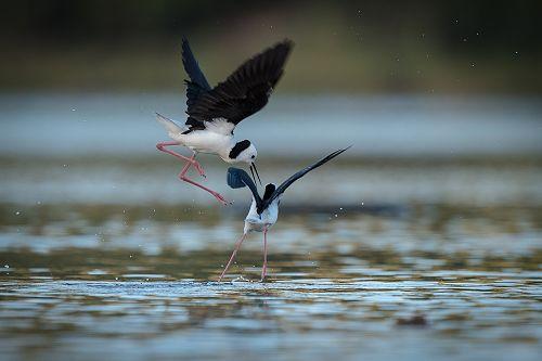 Pied stiltsfighting over feeding grounds at   Tomahawk Lagoon