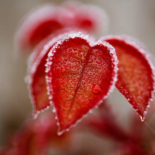 Ice melting on leaves