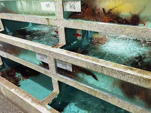 Our lobsters in Xiamen seafood market tanks, reclaiming some space from West Australian lobsters even before the border closed.