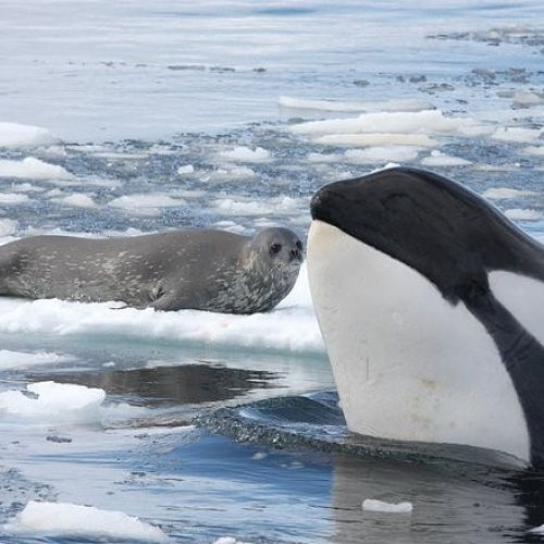 Orca and Seal