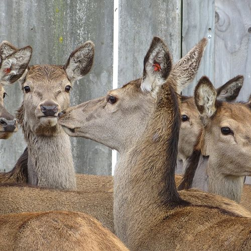 Deer were only considered 'farm' animals in 1969 in New Zealand...