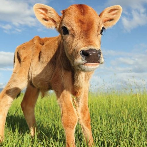 Calf Rearing - 2018