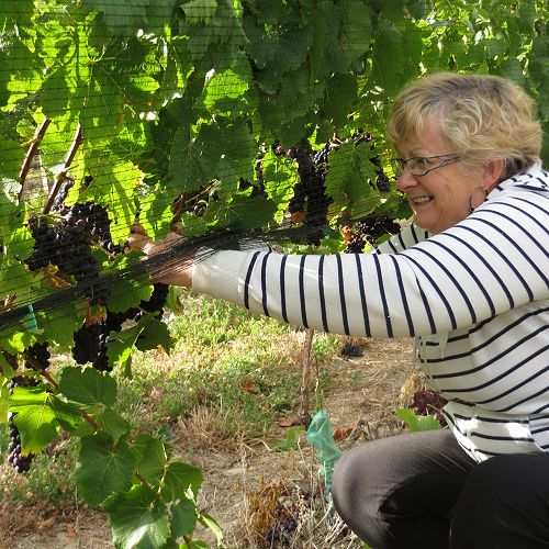 Mrs Suzanne Bishop, thinning in the vineyard...