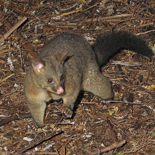 The furry possum may look cute but it's devastating to our forests and wildlife.