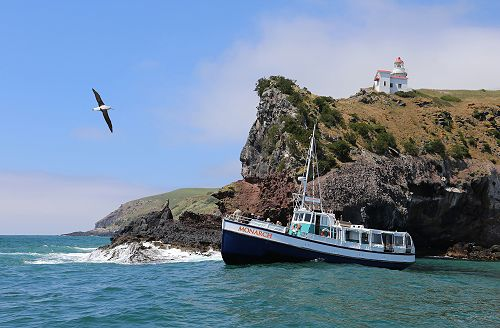 Monarch Wildlife Cruises getting close to wildlife at Taiaroa Head with Royal albatross soaring just above the boat.
