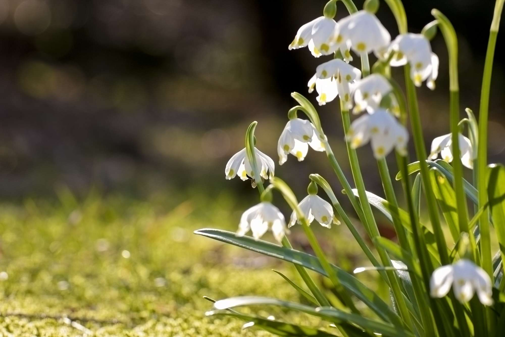 The Grace Of Snowdrops Poetry Competition