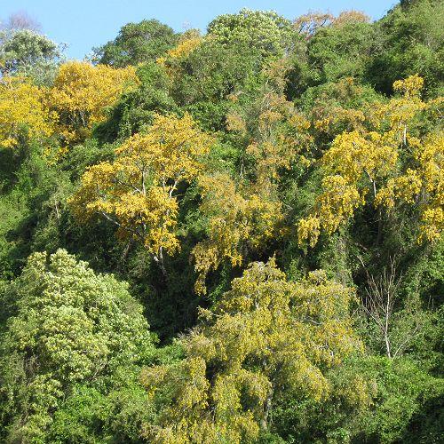 Kowhai (Sophora microphylla) in Leith Valley, Dunedin