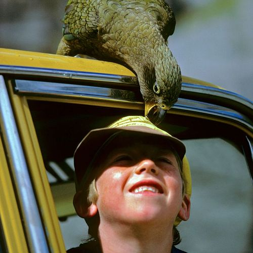 A curious young Jamie Morris and an equally curious kea