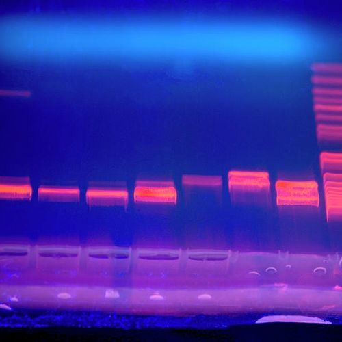 For the geneticsunit, the schoolborrowed a gelelectrophoresis kit from theUniversity ofCanterbury andstudents ran agel to separate DNA fragments and analyse the results. They then discussed how this technology can be used in society.