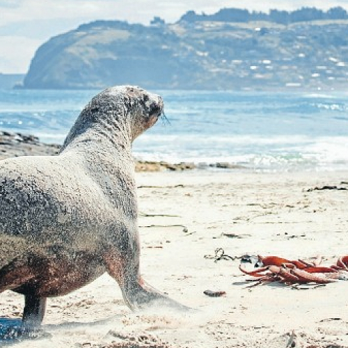 """""""Dunedin is a greedy wildlife hogger.Some of the south's best wildlife experiences are within easy reach of downtown Dunedin."""" Claire Finlayson"""