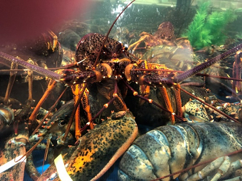 Our lobster should be separated from lower value species, but even when it isn't, we like to think that true quality naturally ascends to the top of the heap. Note the taped claws of a North American lobster underneath.