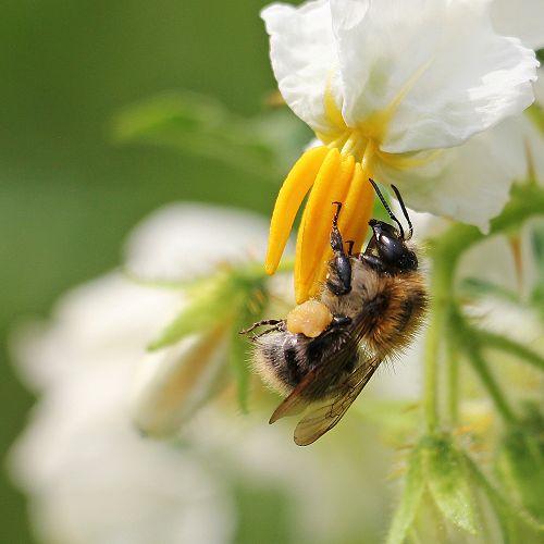 Bee on Potato Flower