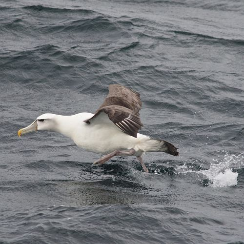 """""""Buller's albatross in the departure lounge"""" - entry in 2016 Otago Peninsula Photography competition"""