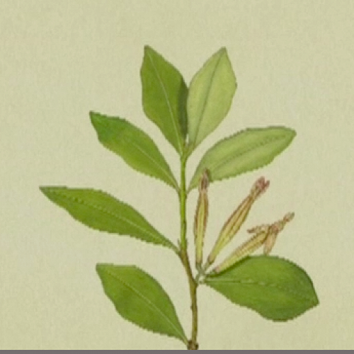 Botanical painting of Adam's Mistletoe by Audrey Eagle in the 1950's